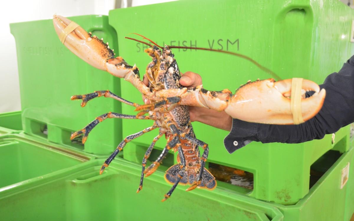 A Saint-Malo, Shellfish réalise 50% de ses approvisionnements au Royaume-Uni et exporte 15 % de sa marchandise en Europe mais aussi en Chine.