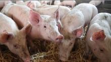 Depuis la confirmation de deux nouveaux cas de fièvre porcine africaine (FPA) sur des sangliers sauvages en Belgique, à proximité de la frontière, le 10 janvier dernier, le niveau de risque est aujourd'hui maximal.