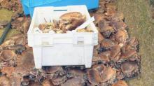 Pour développer son chiffre d'affaires, l'entreprise malouine shellfish (17 salariés-CA de 6 M€) s'est lancée en janvier 2016  sur le marché chinois du tourteau vivant.